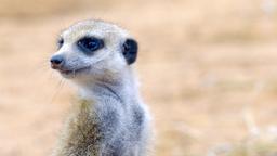 Piacere, sono il suricato