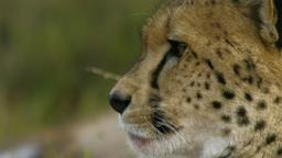 I grandi felini d'Africa