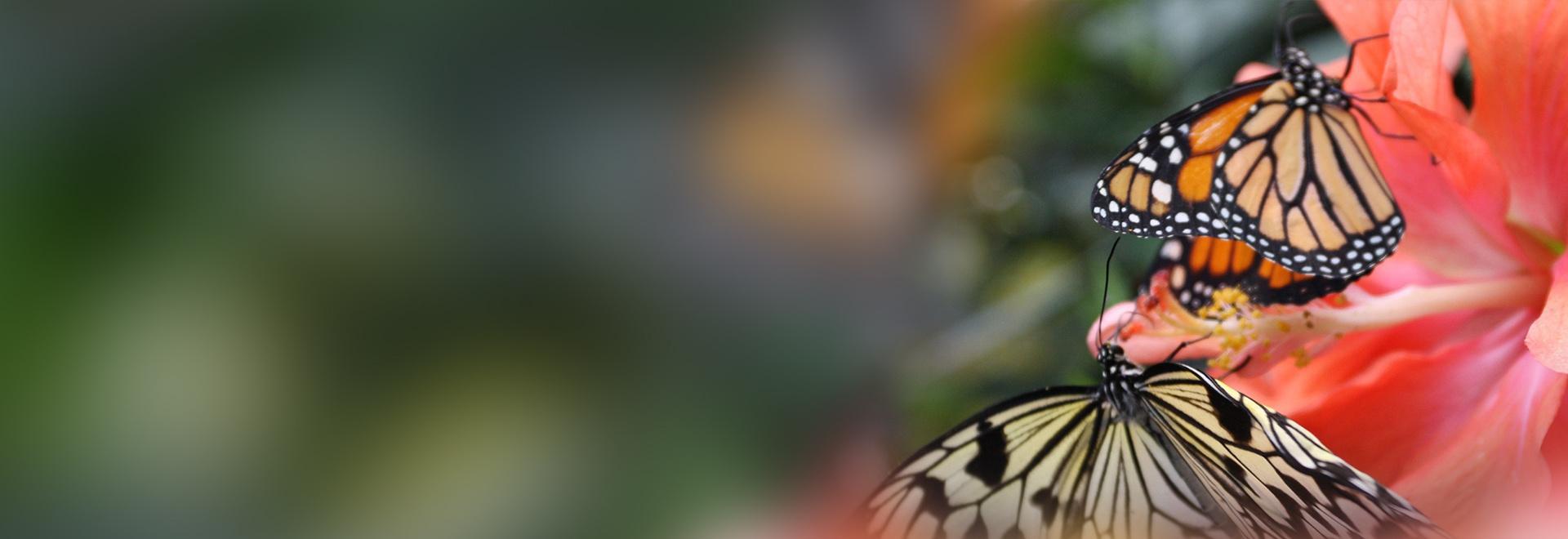 Il viaggio delle farfalle monarca