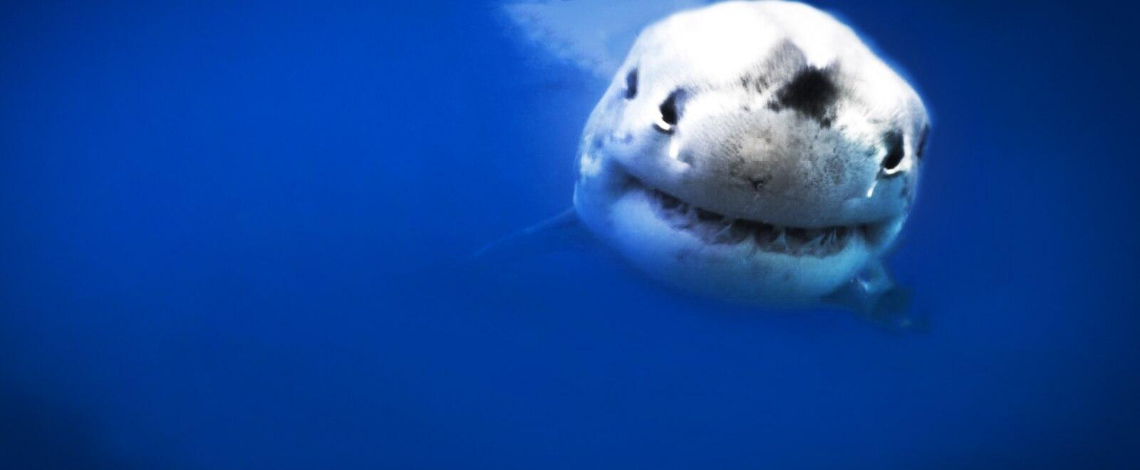 L' autostrada dei grandi squali bianchi