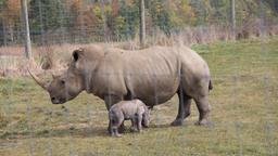 La nascita di un rinoceronte