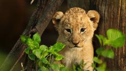 La madre dei leoni