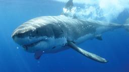 L'isola dello squalo bianco