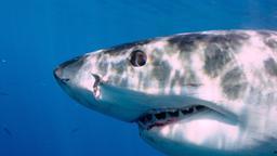 L'intelligenza degli squali