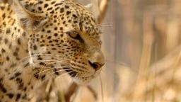 Il leopardo affamato