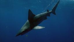 Lo squalo del fiume