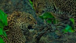 Vita da leopardi