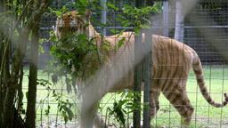 Tigri del Bengala