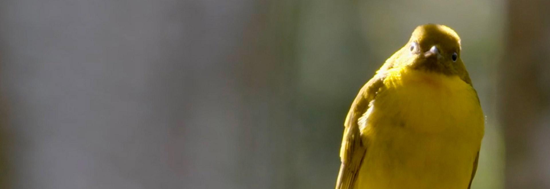 Uccelli selvatici d'Australia