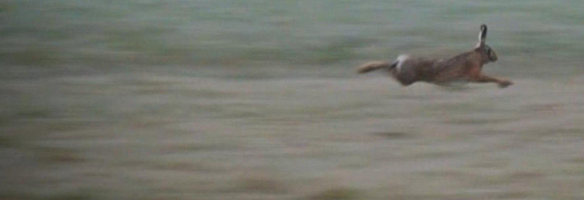 Le lepri dell'isola Comacina