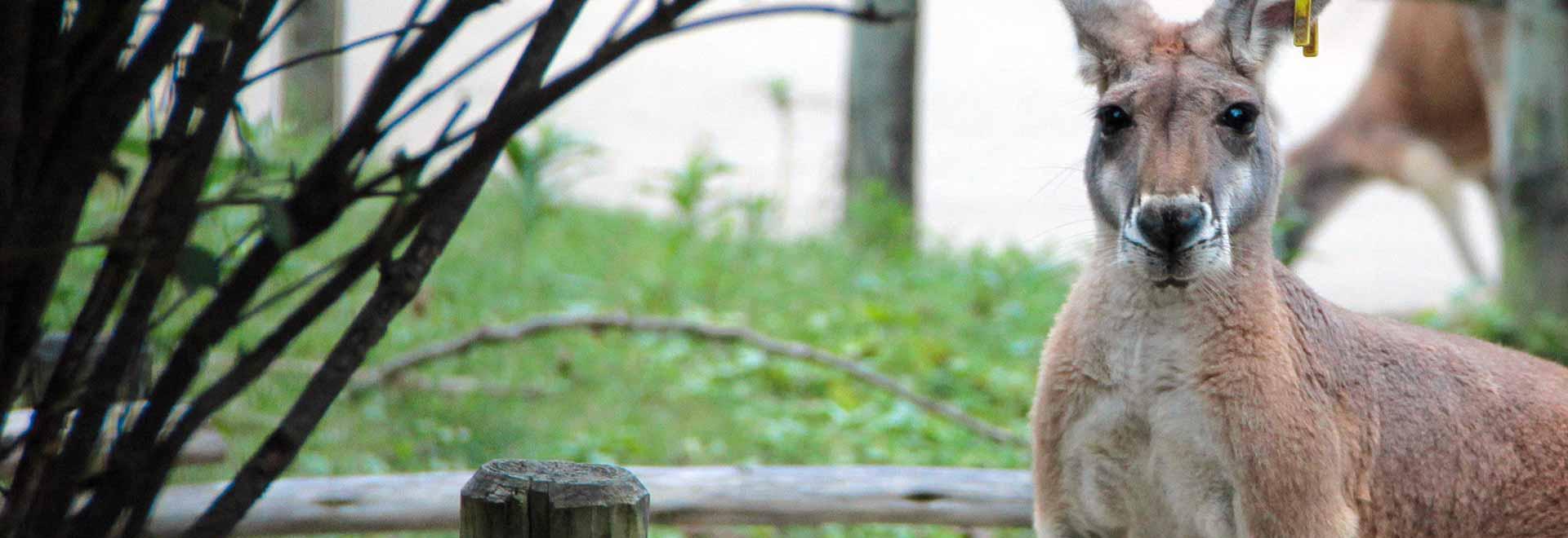 Il panda rosso