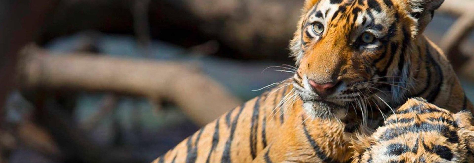 La tigre leggendaria