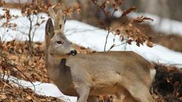 La caccia invernale ai calvi