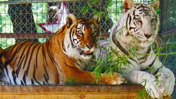 Emergenza tigre
