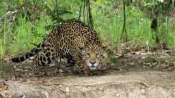 La tana del giaguaro