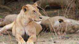 Giovani leoni