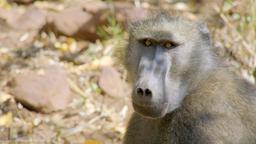 La terra dei primati - Stag. 1 Ep. 4 - I babbuini di Bambelela