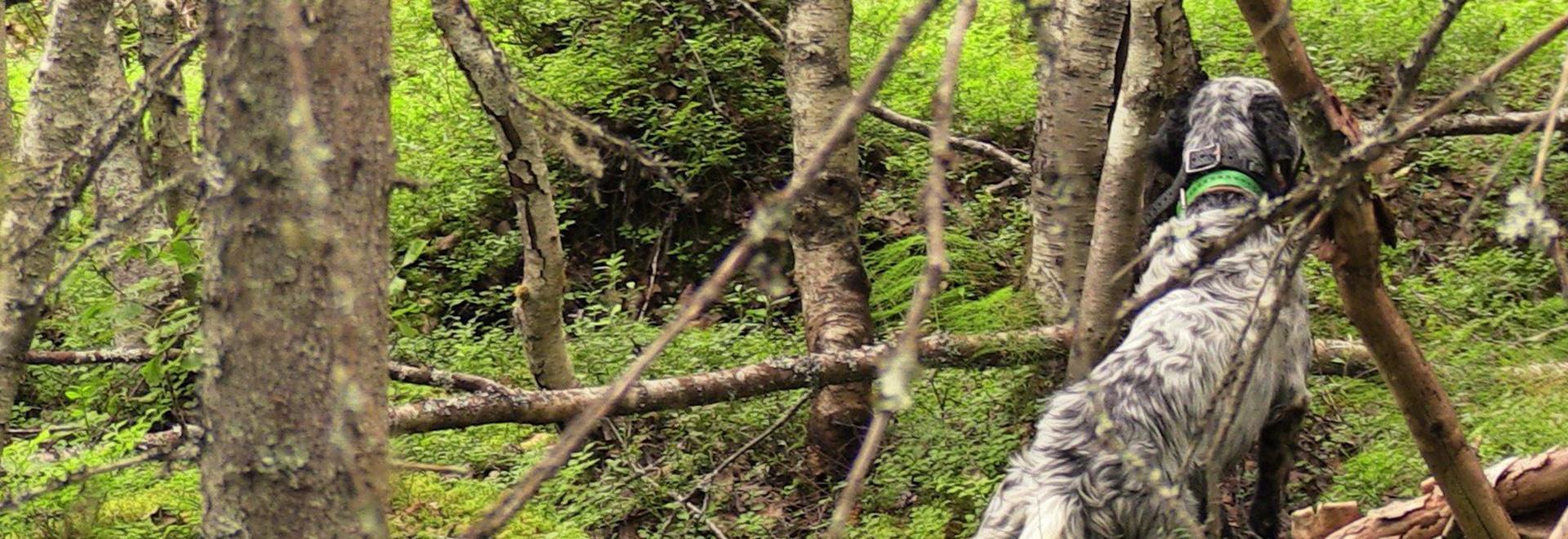 Caccia alla grouse in Scozia