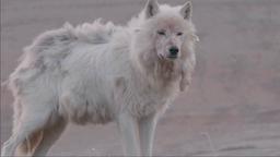 Sulle tracce dei lupi