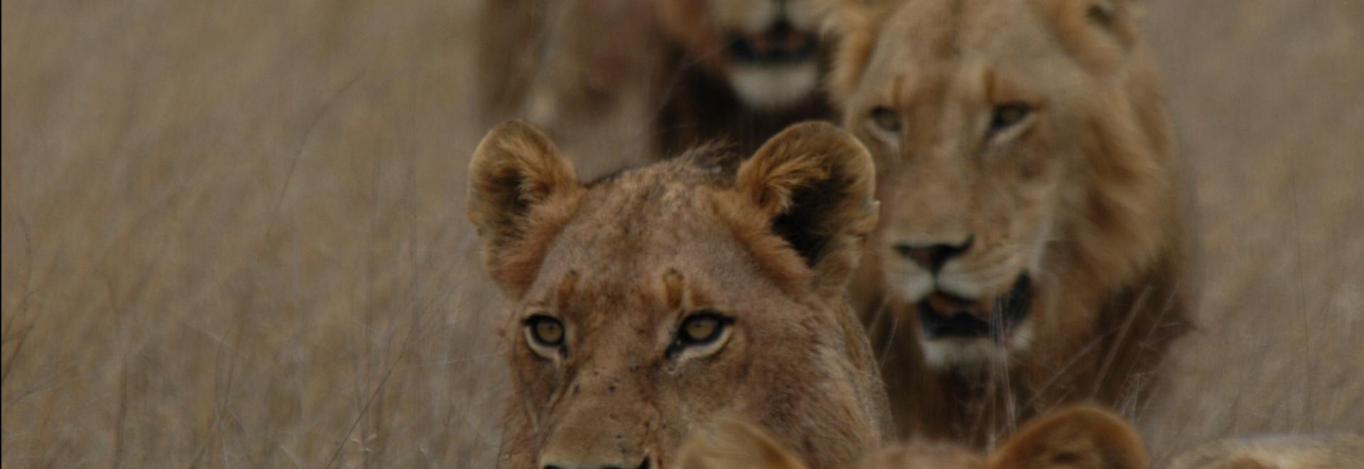 Antilope: mangiata viva!