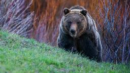 Estate: il regno dei grizzly