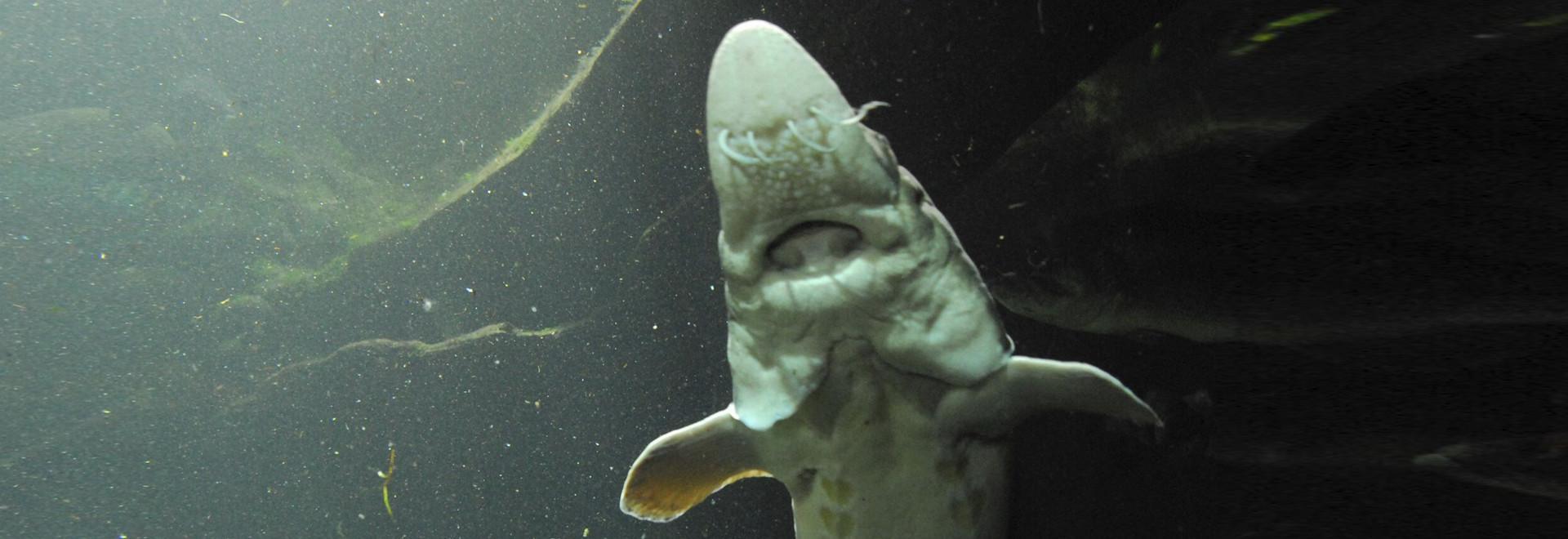 Anguille giganti