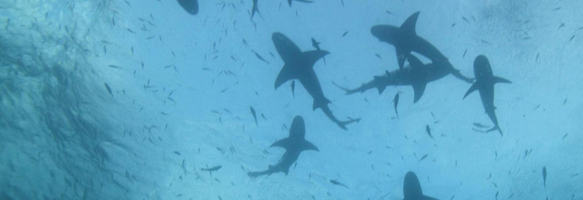 La spiaggia dello squalo tigre