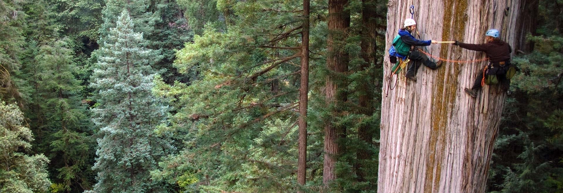Sequoie giganti: gli alberi più alti del mondo