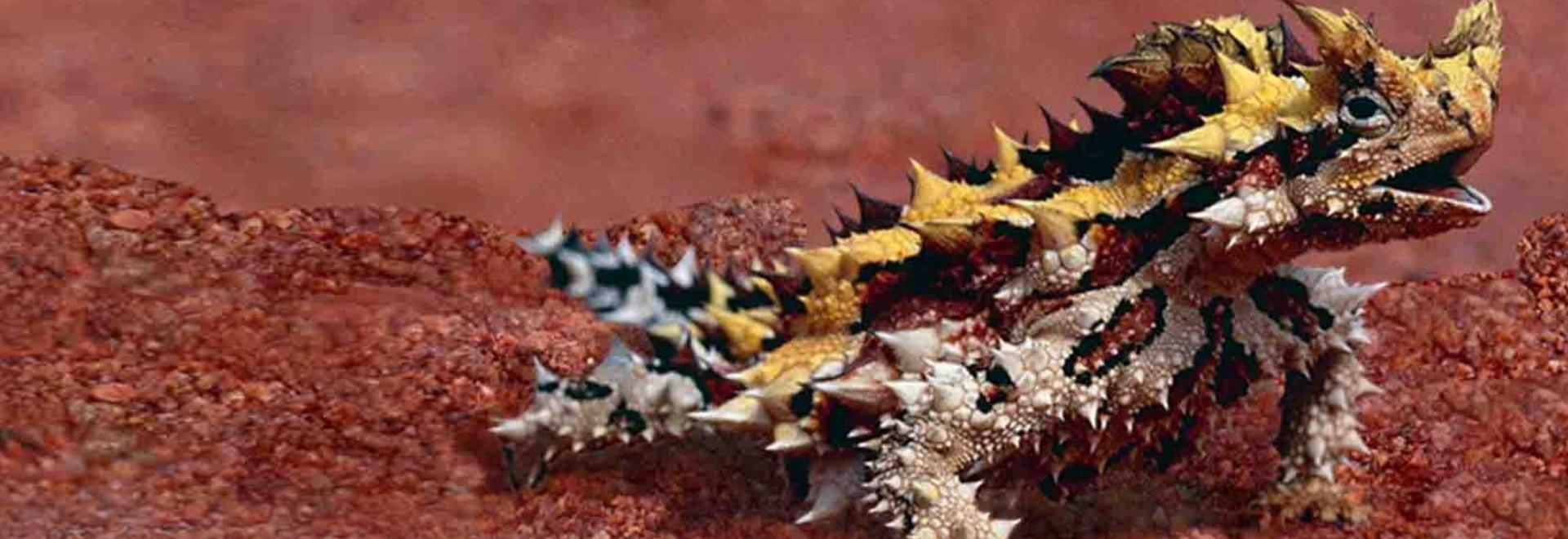 L'iguana codaspinosa