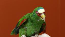 Il pappagallo dimenticato