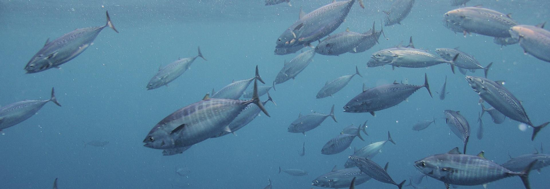 Marlin blu - La tecnica