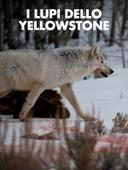I lupi dello Yellowstone