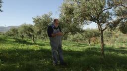 Olive giarraffa
