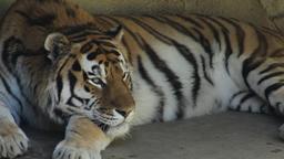Tigre in arrivo