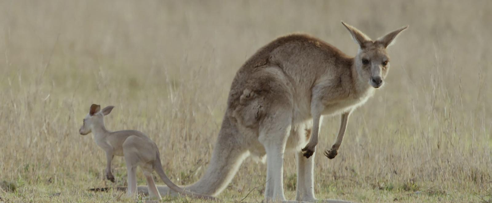 Secret life of the kangaroo