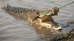 Un coccodrillo in volo