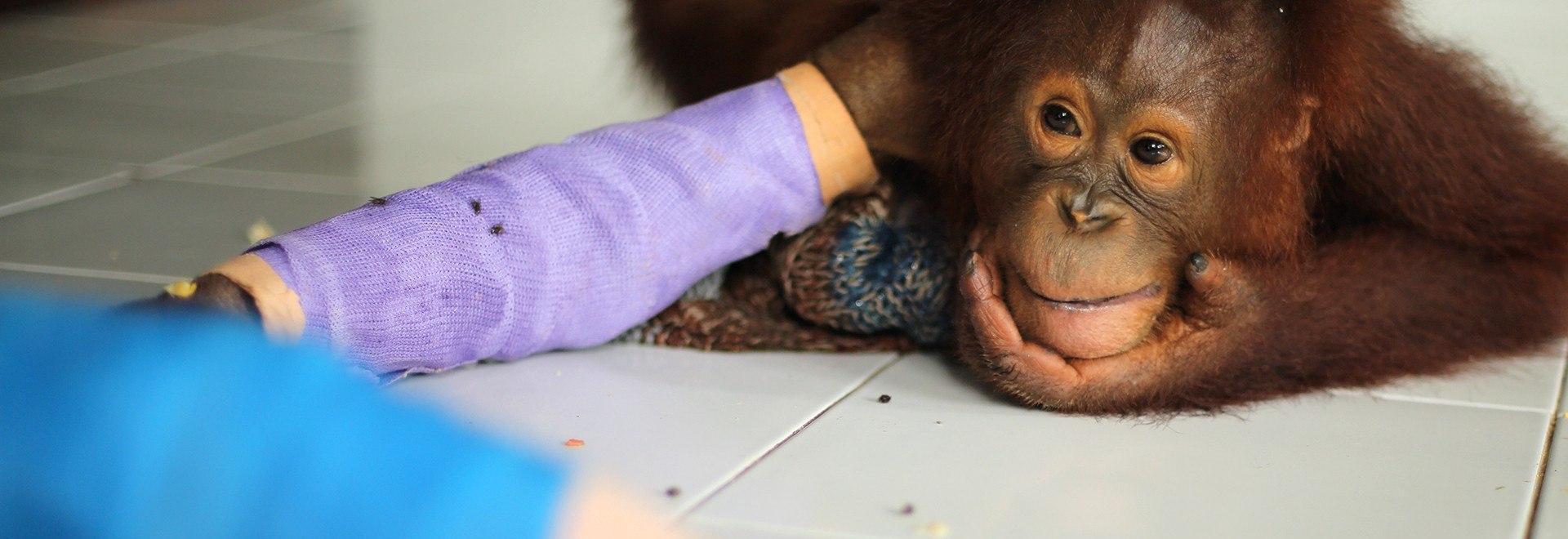 La scuola di sopravvivenza degli oranghi