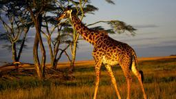 L'attacco della giraffa