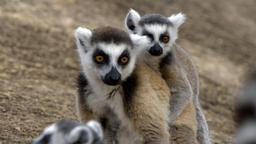 Madagascar: lucertole e lemuri