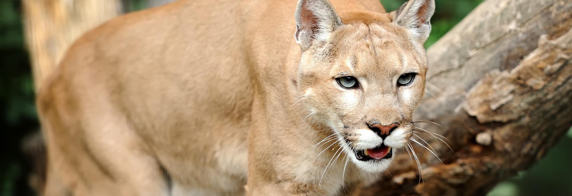 Puma: il coraggio di una madre