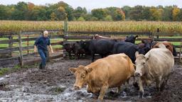 La sfortuna della mucca