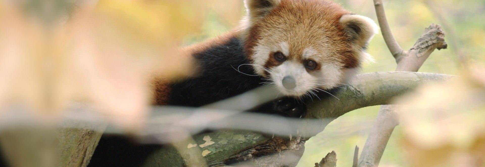 Il panda gigante: ritorno alla natura