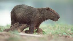 Il laghetto dei capibara