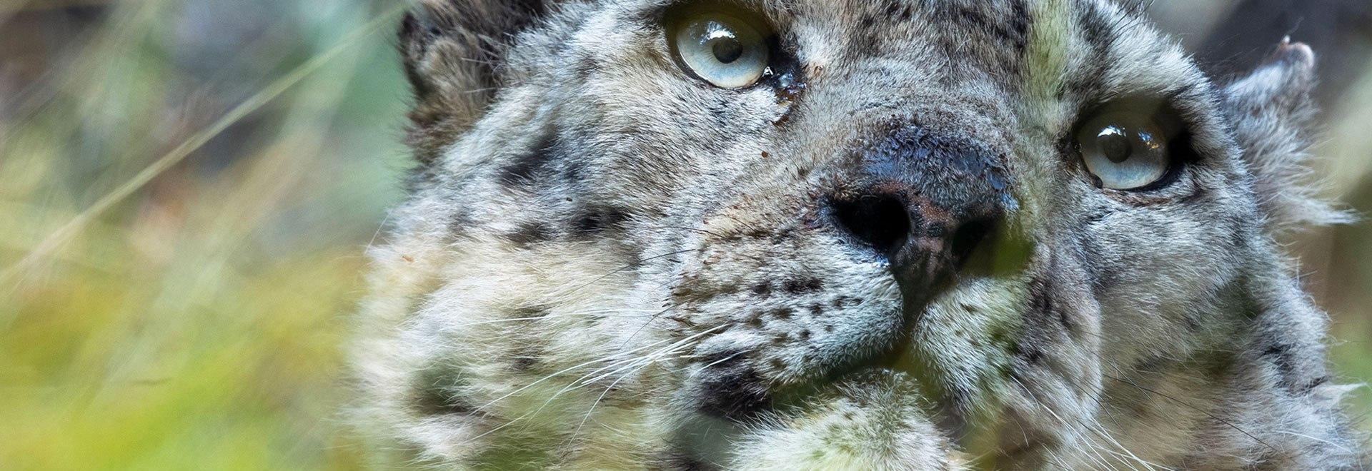 Il leopardo delle nevi: Cina