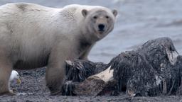 Sfida all'orso bianco