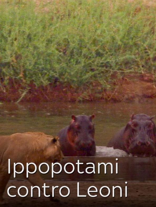 Ippopotami contro Leoni