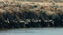 Obiettivo primario: bufalo