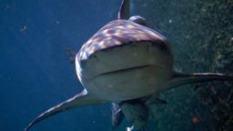 Il letale squalo leuca