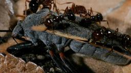 L'invasione delle formiche di fuoco
