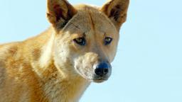 La vita segreta dei dingo